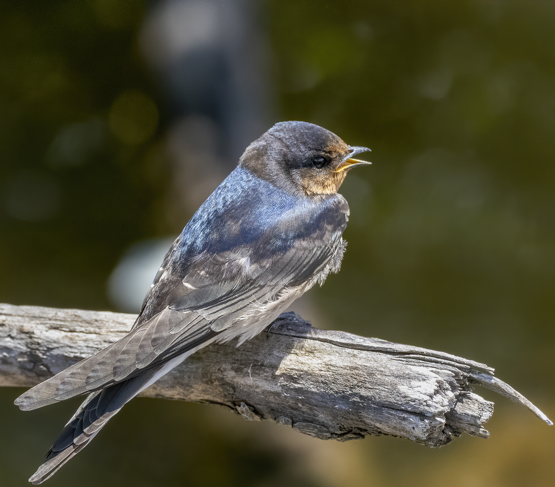 Welcome Swallow (Image ID 44179)