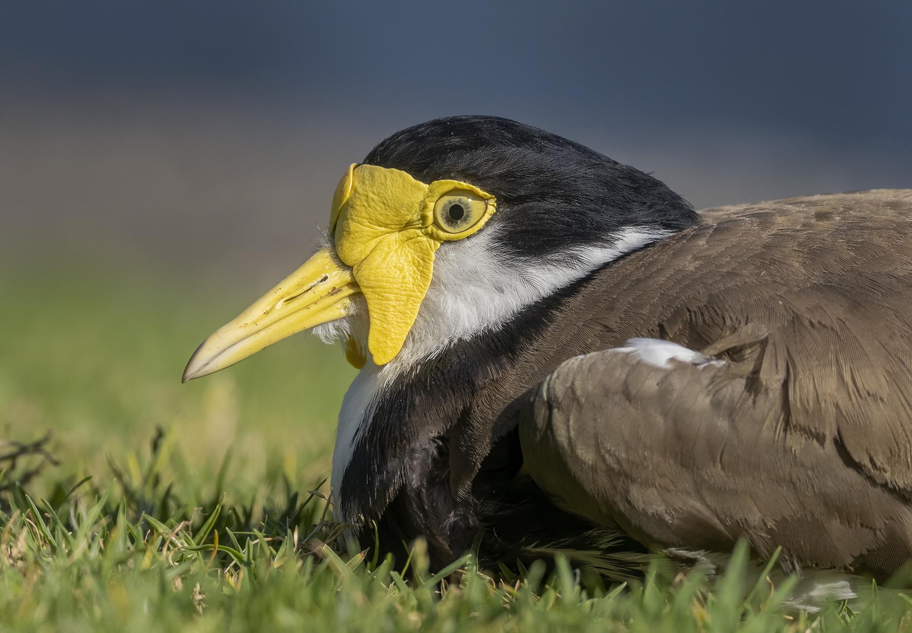 Masked Lapwing (Image ID 44177)