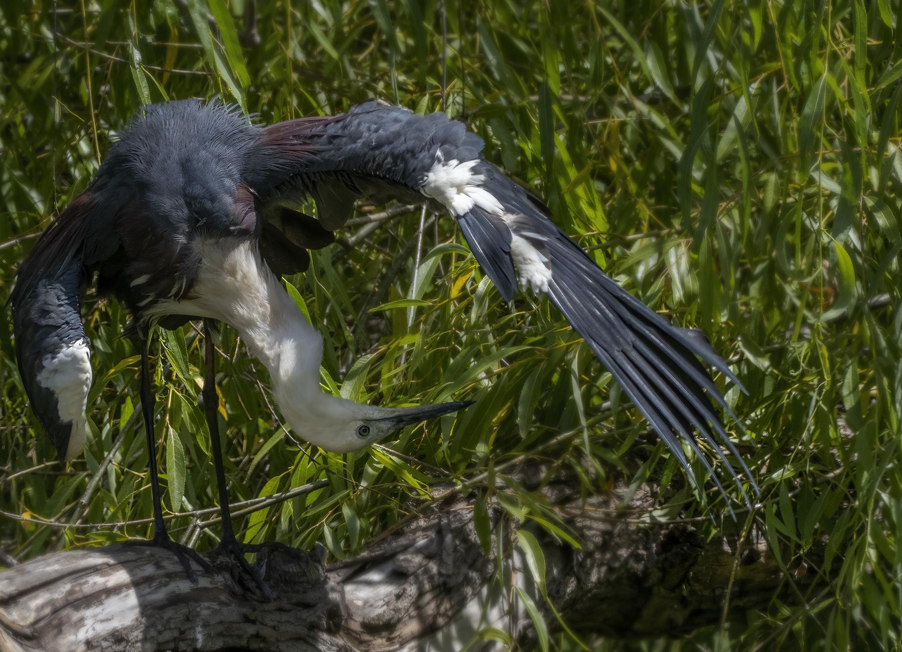 White-necked Heron (Image ID 44325)