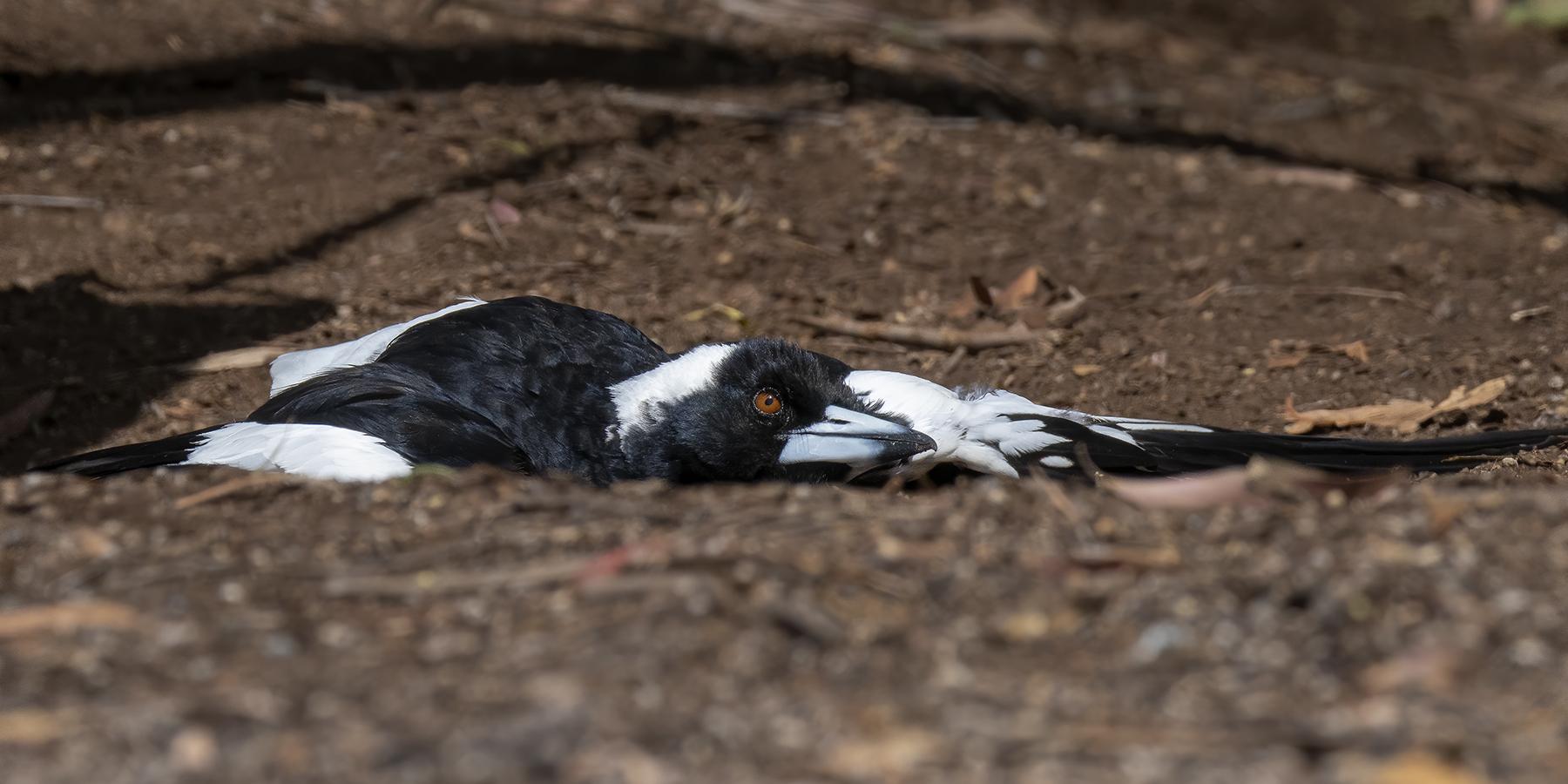 Australian Magpie (Image ID 44076)