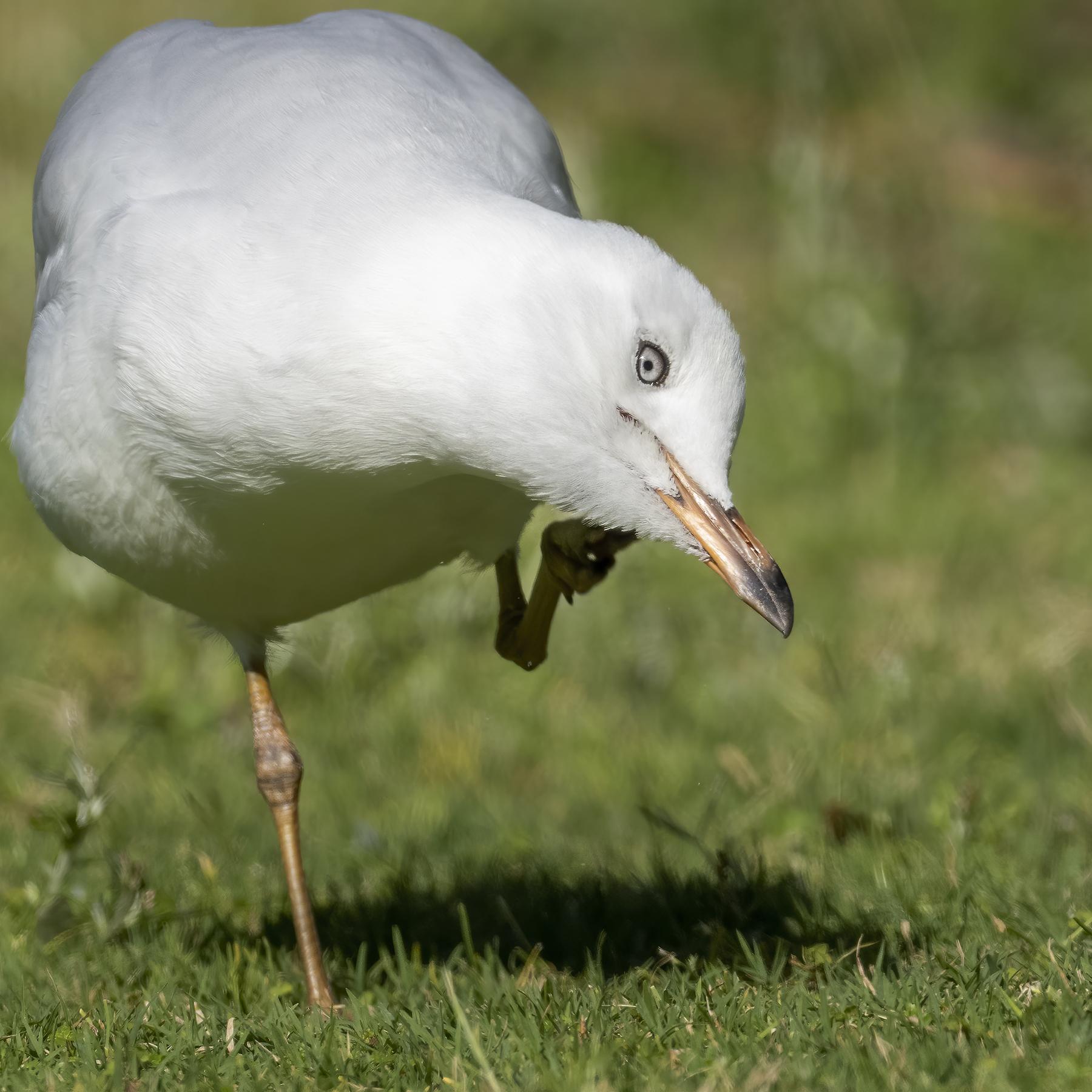 Silver Gull (Image ID 44238)