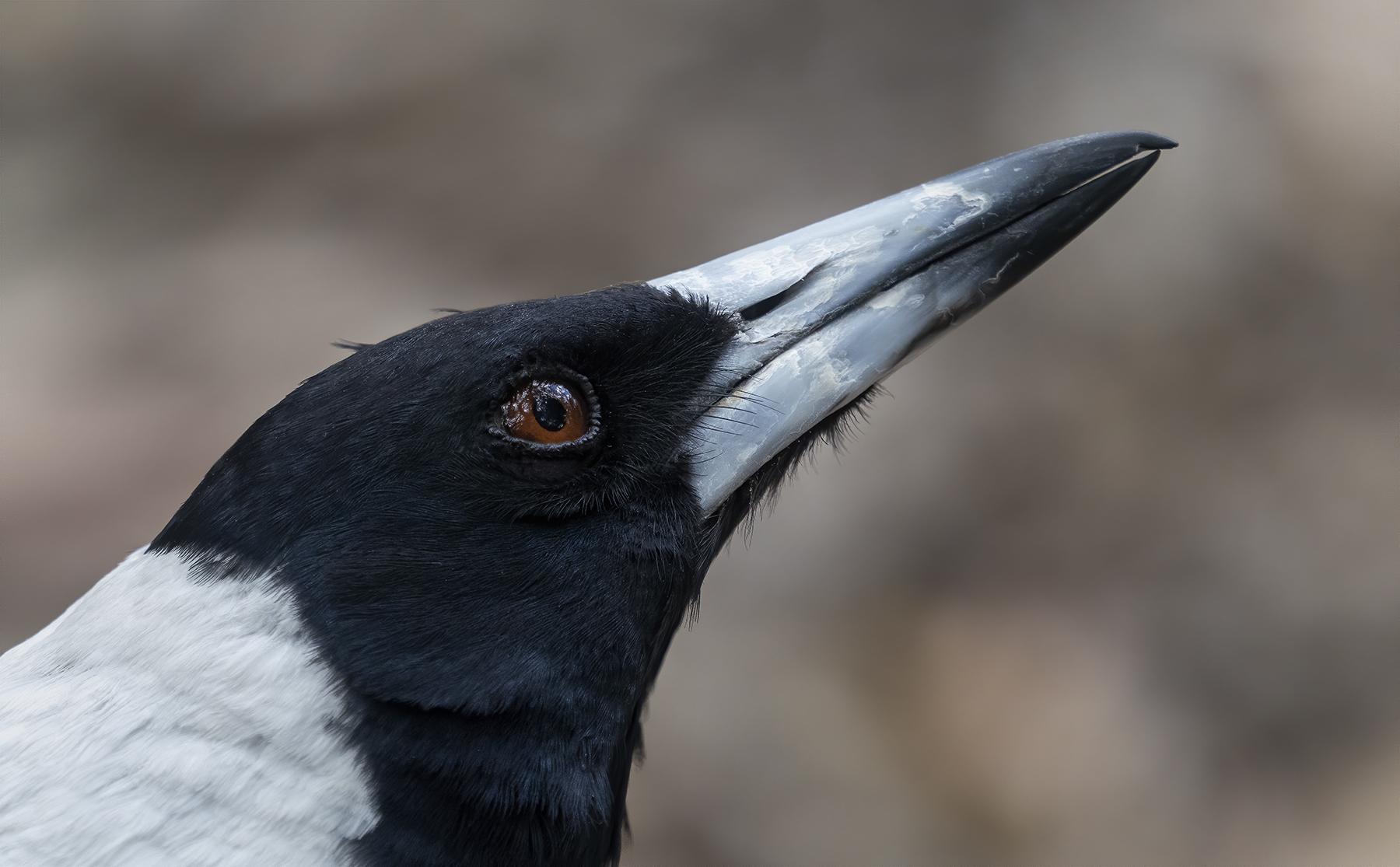 Australian Magpie (Image ID 44104)