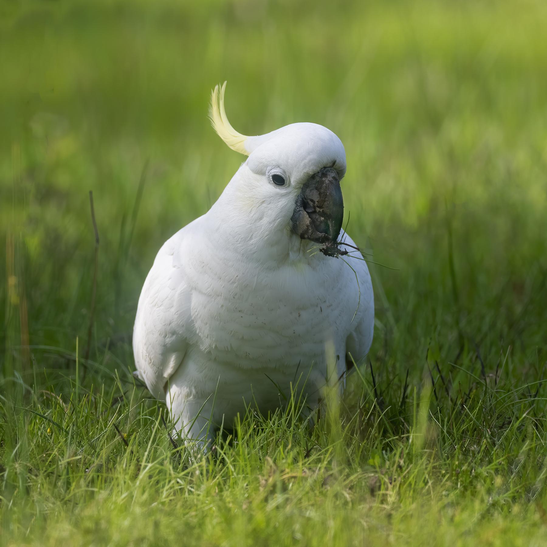 Sulphur-crested Cockatoo (Image ID 44239)