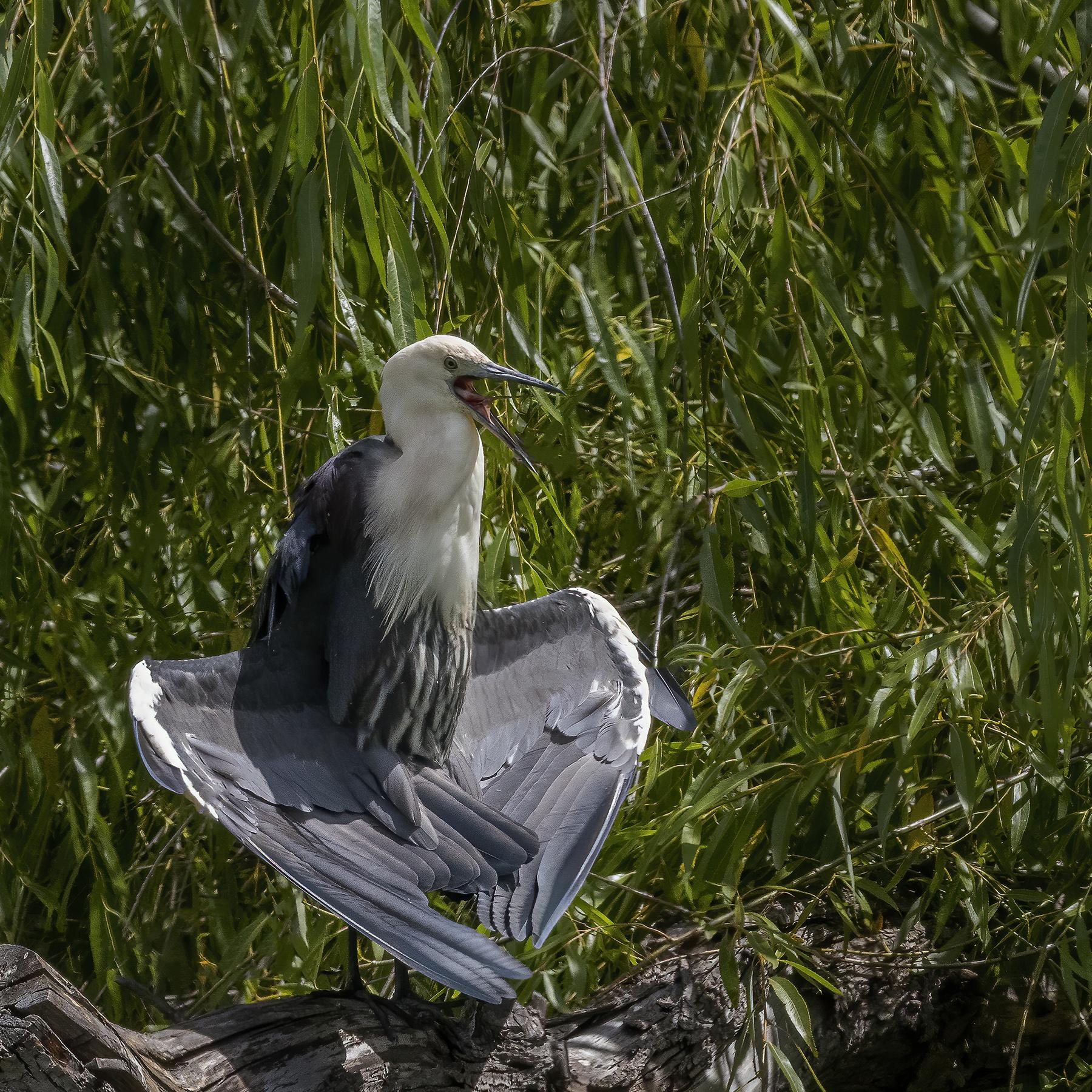White-necked Heron (Image ID 44397)