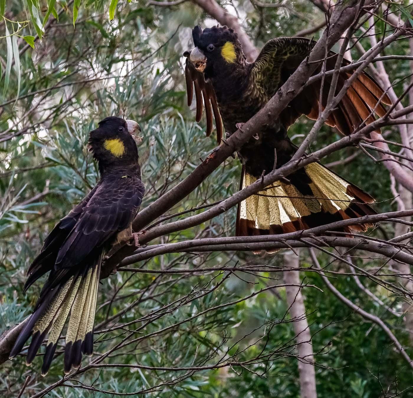 Yellow-tailed Black-Cockatoo (Image ID 44330)