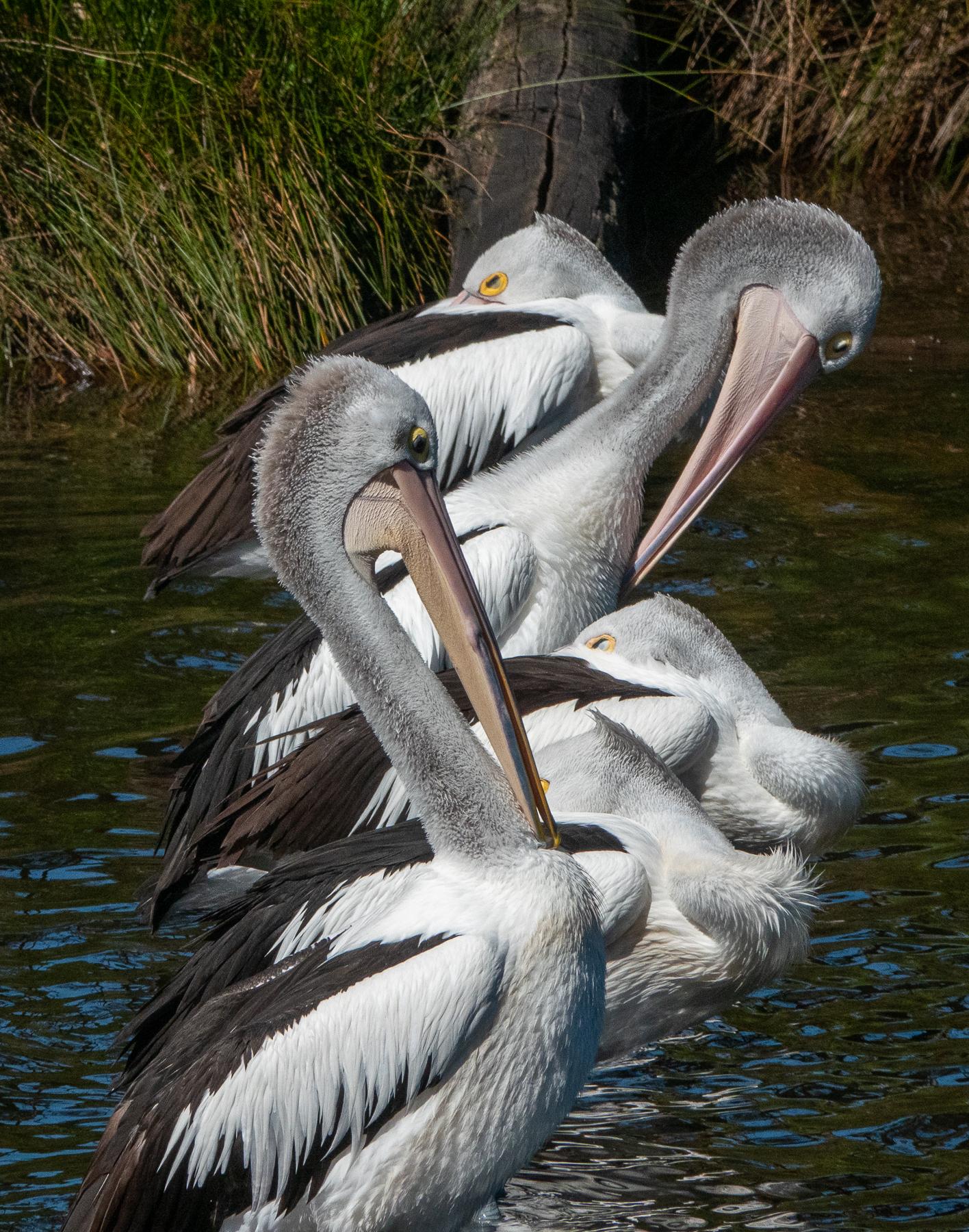 Australian Pelican (Image ID 44078)
