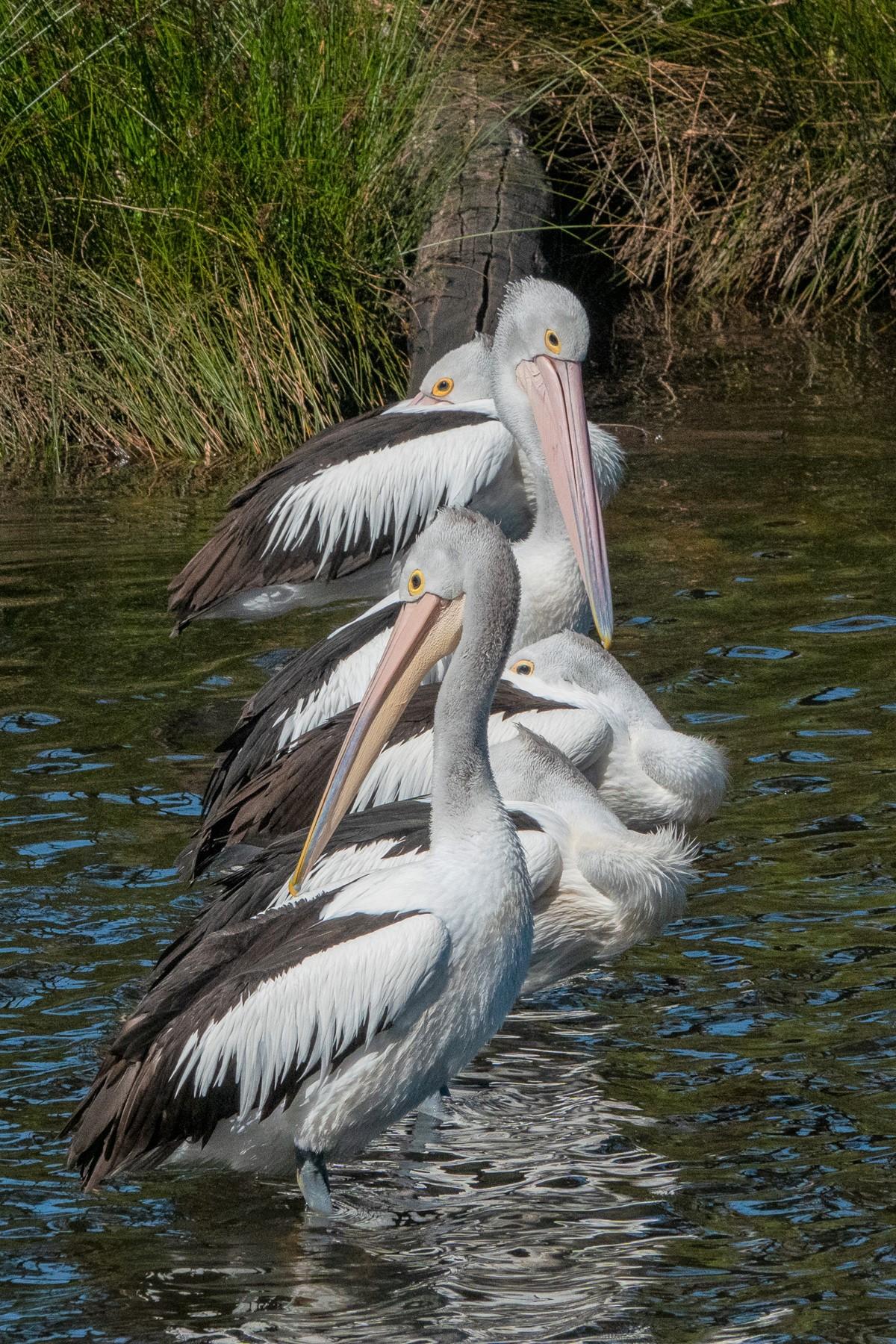 Australian Pelican (Image ID 44079)