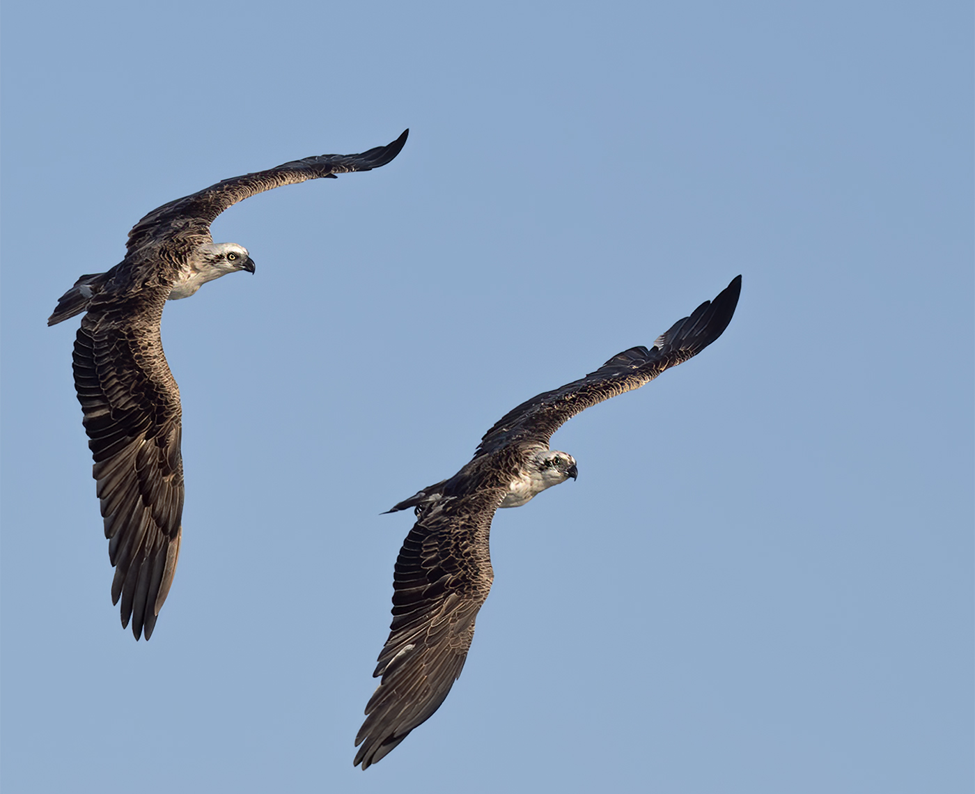 Osprey (Image ID 44504)