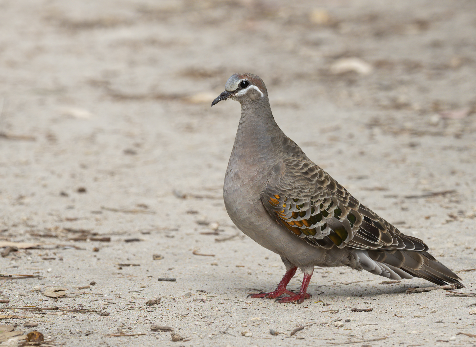 Common Bronzewing (Image ID 44085)