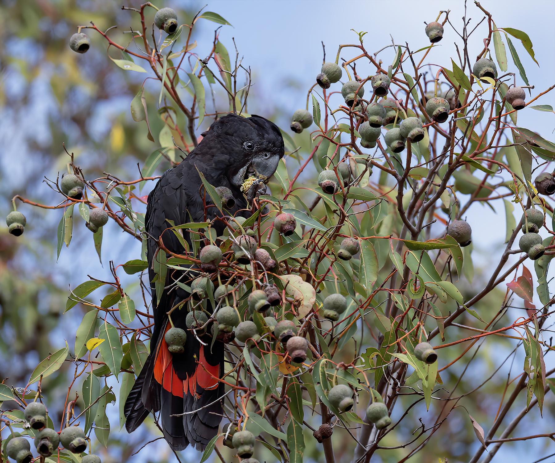 Red-tailed Black-Cockatoo (Image ID 44172)