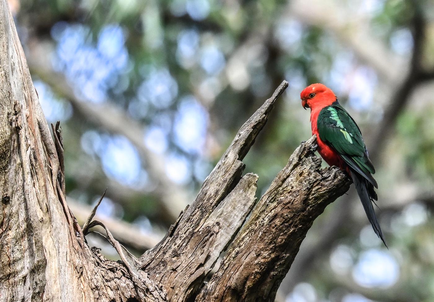 Australian King-Parrot (Image ID 44490)