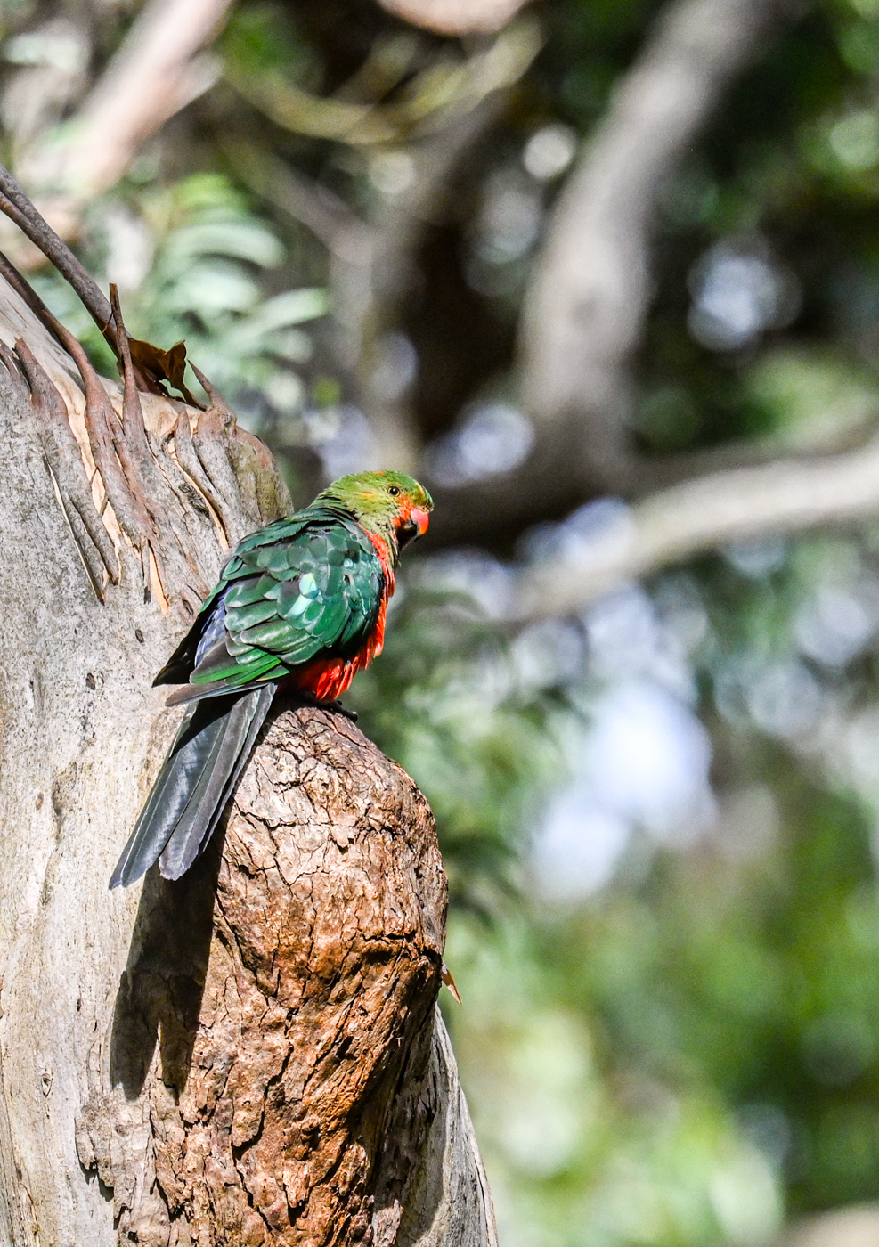 Australian King-Parrot (Image ID 44491)