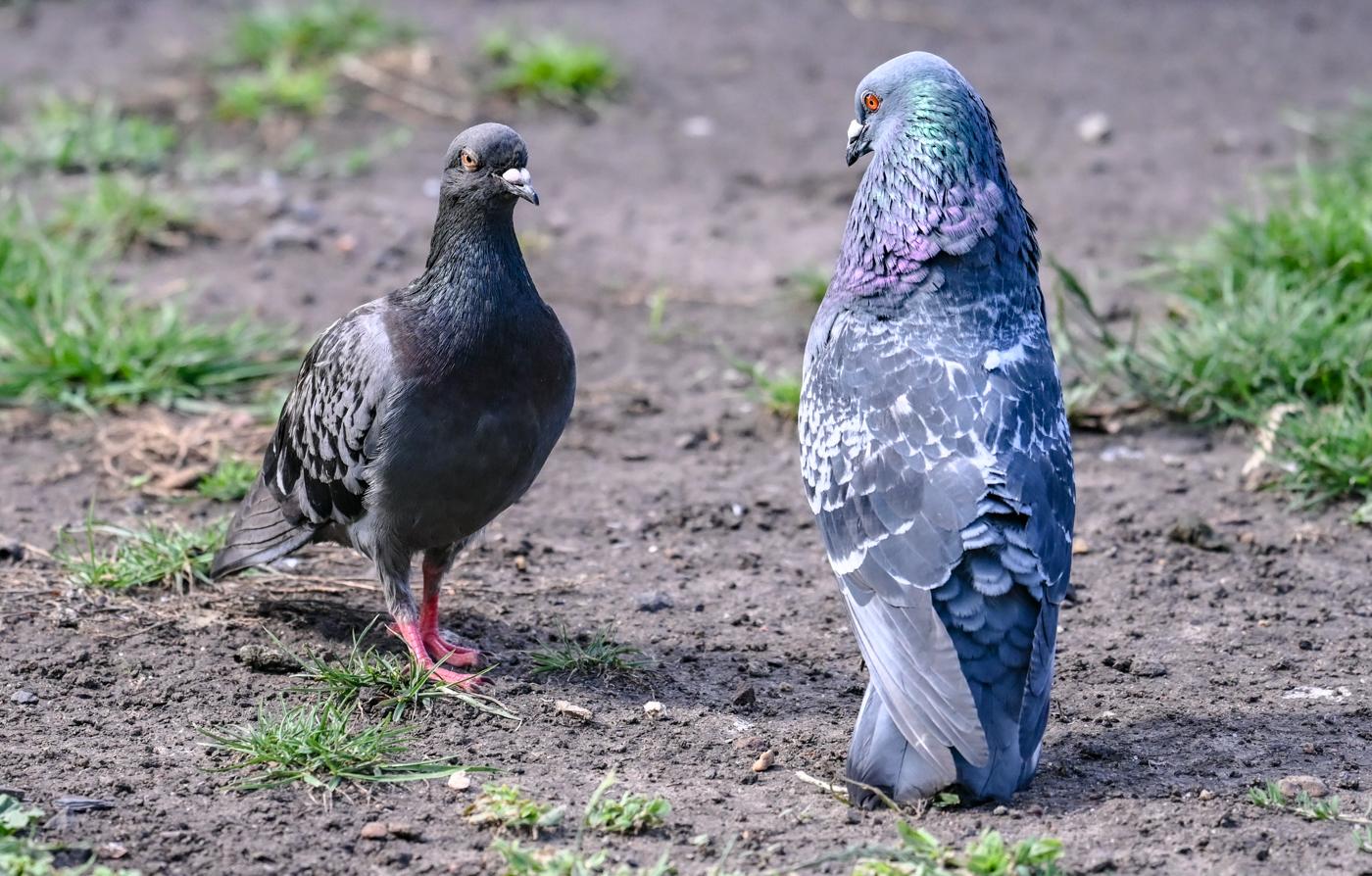 Rock Dove (Image ID 44106)