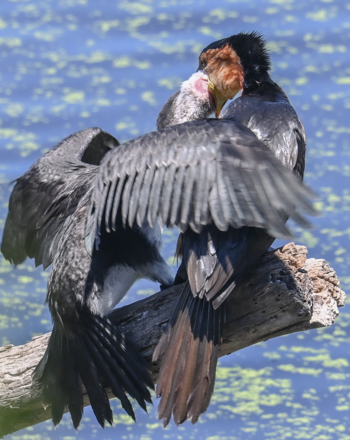Great Pied Cormorant (Image ID 44477)