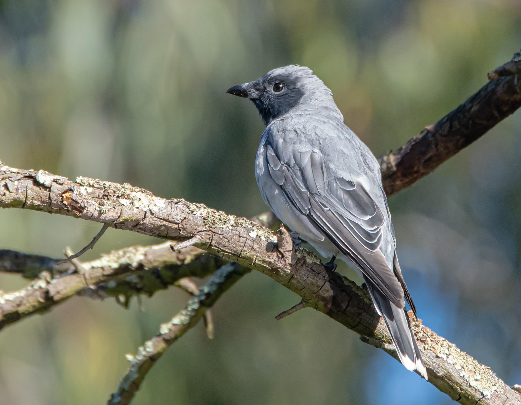 Black-faced Cuckoo-shrike (Image ID 44376)