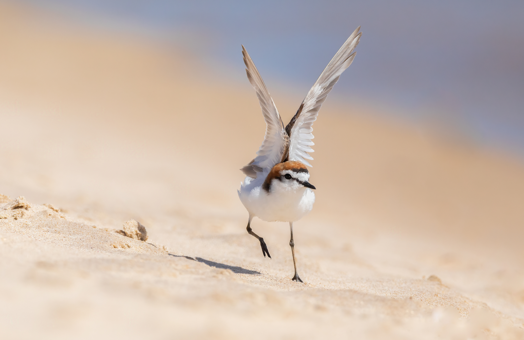 Red-capped Plover (Image ID 44392)
