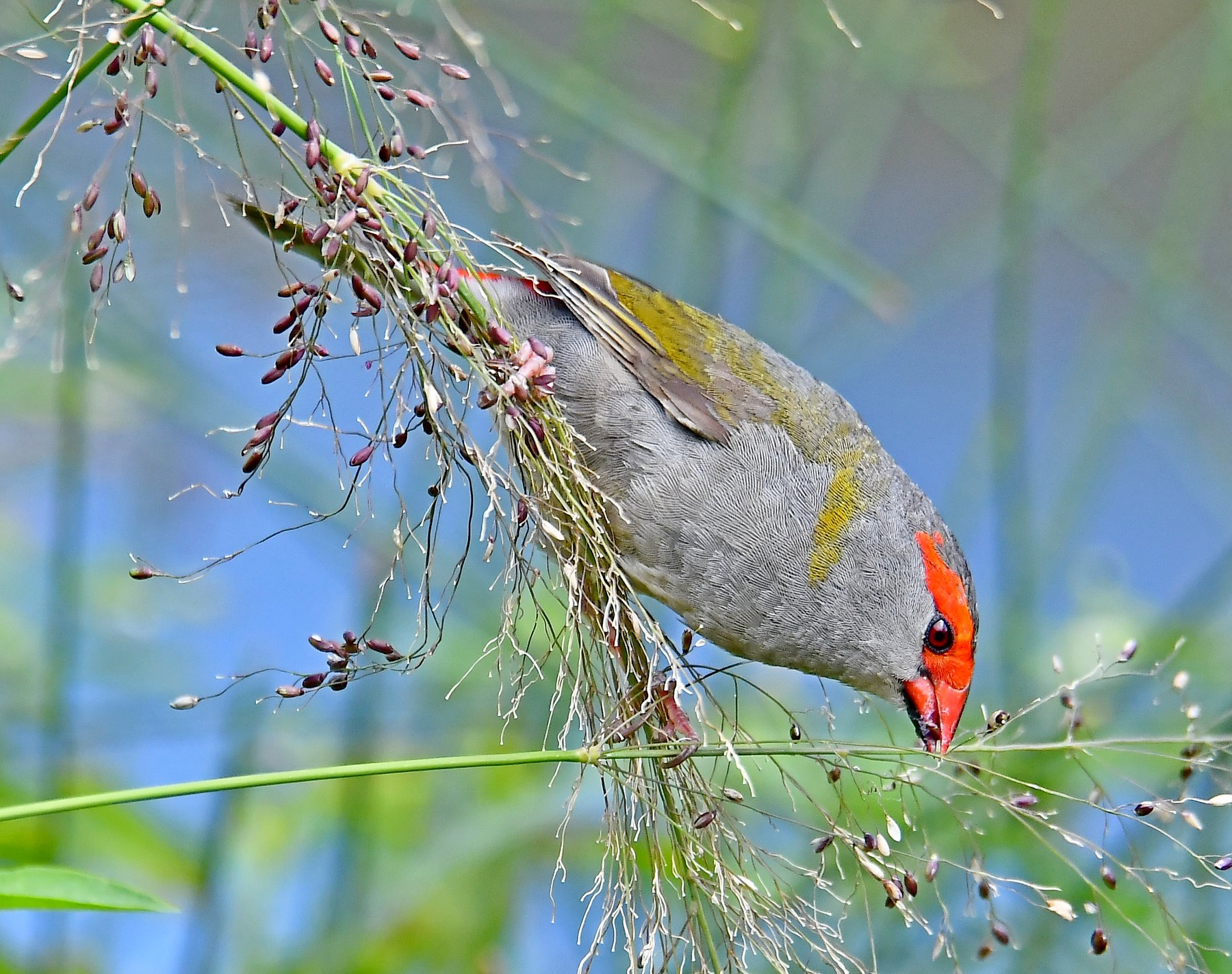 Red-browed Finch (Image ID 44141)