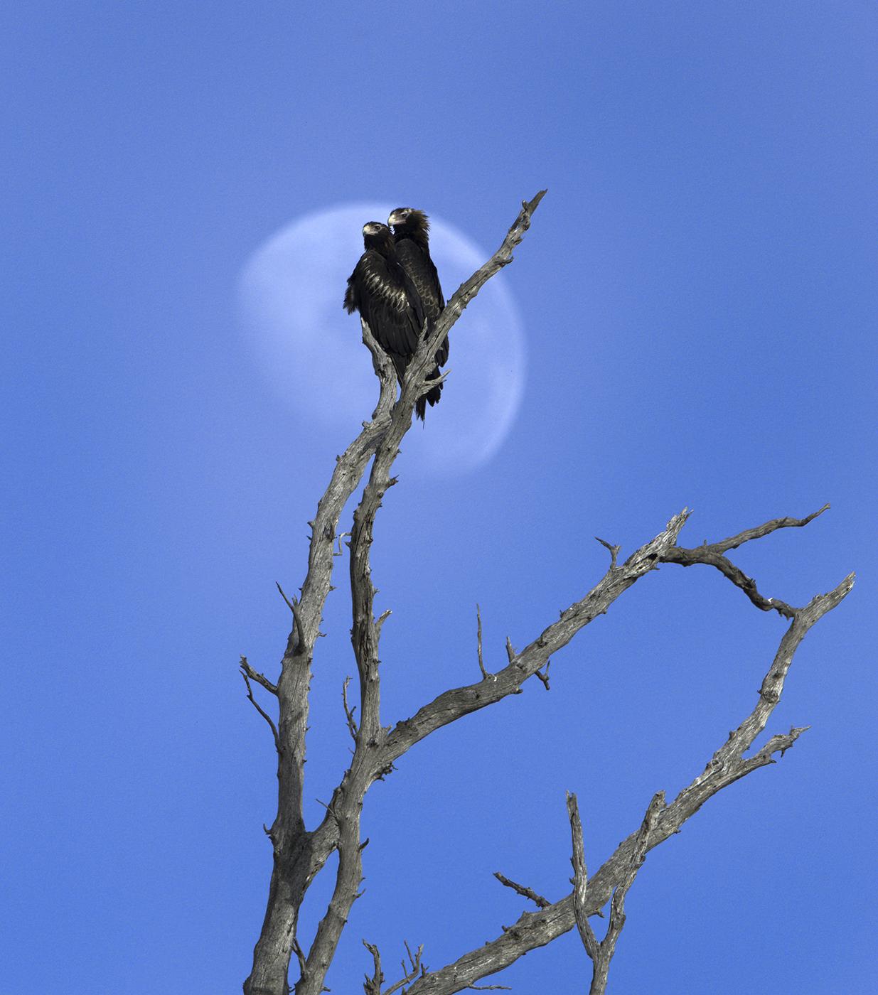 Wedge-tailed Eagle (Image ID 44378)