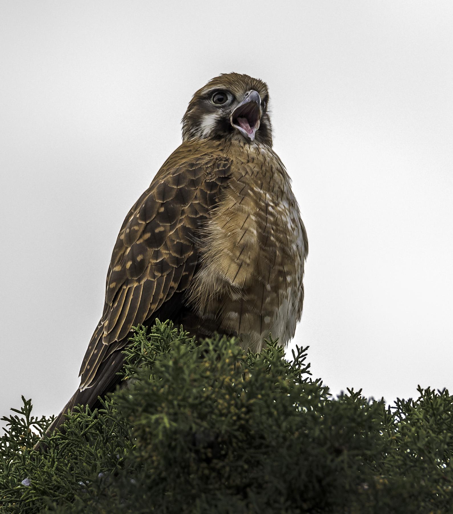 Brown Falcon (Image ID 44385)