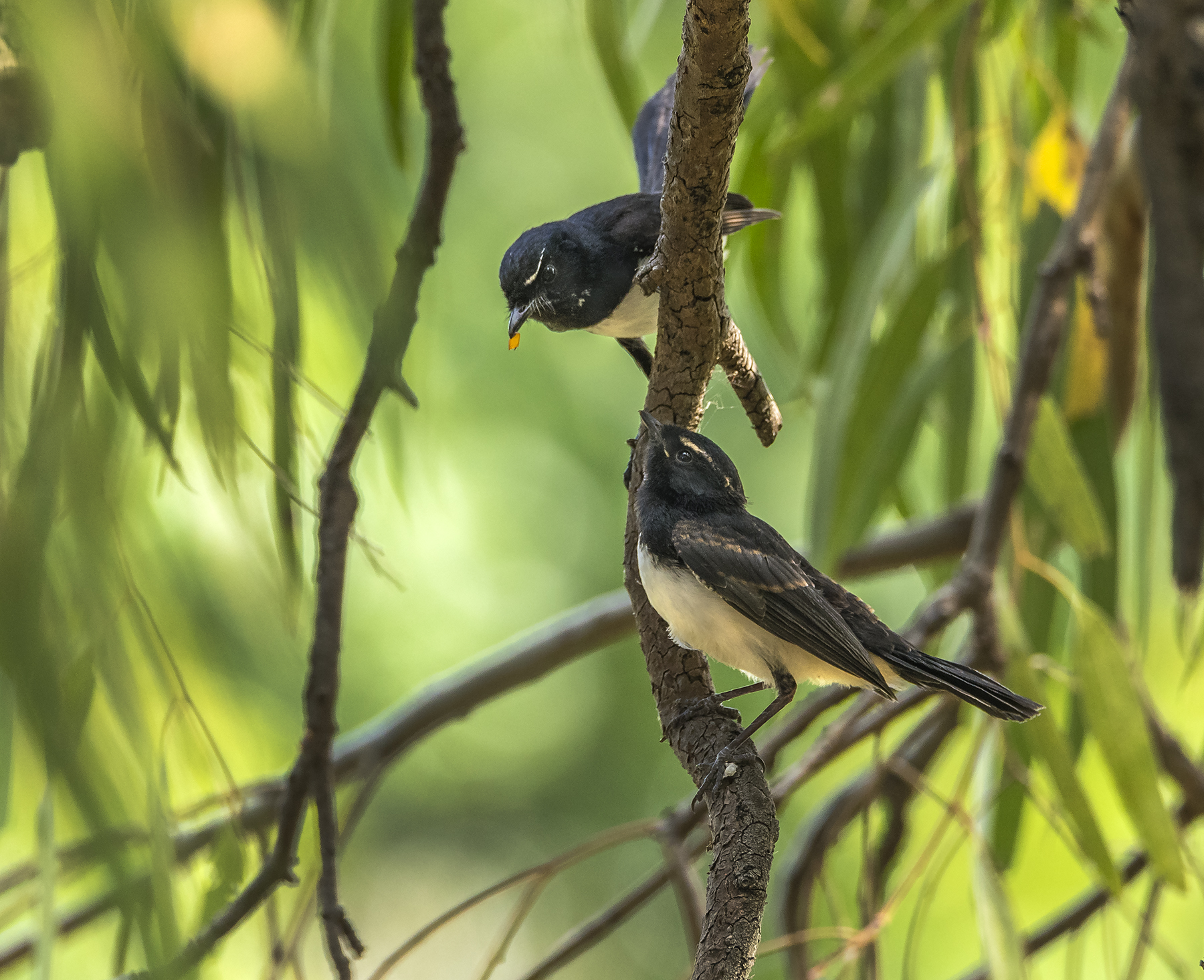 Willie Wagtail (Image ID 44518)