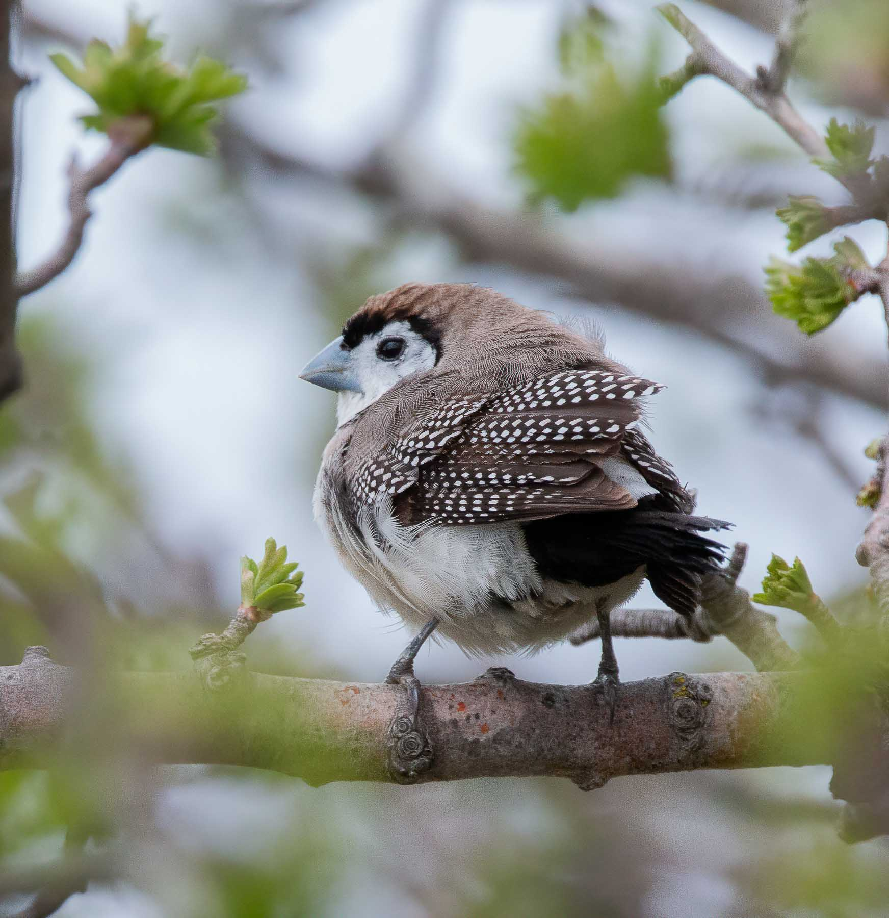 Double-barred Finch (Image ID 44069)