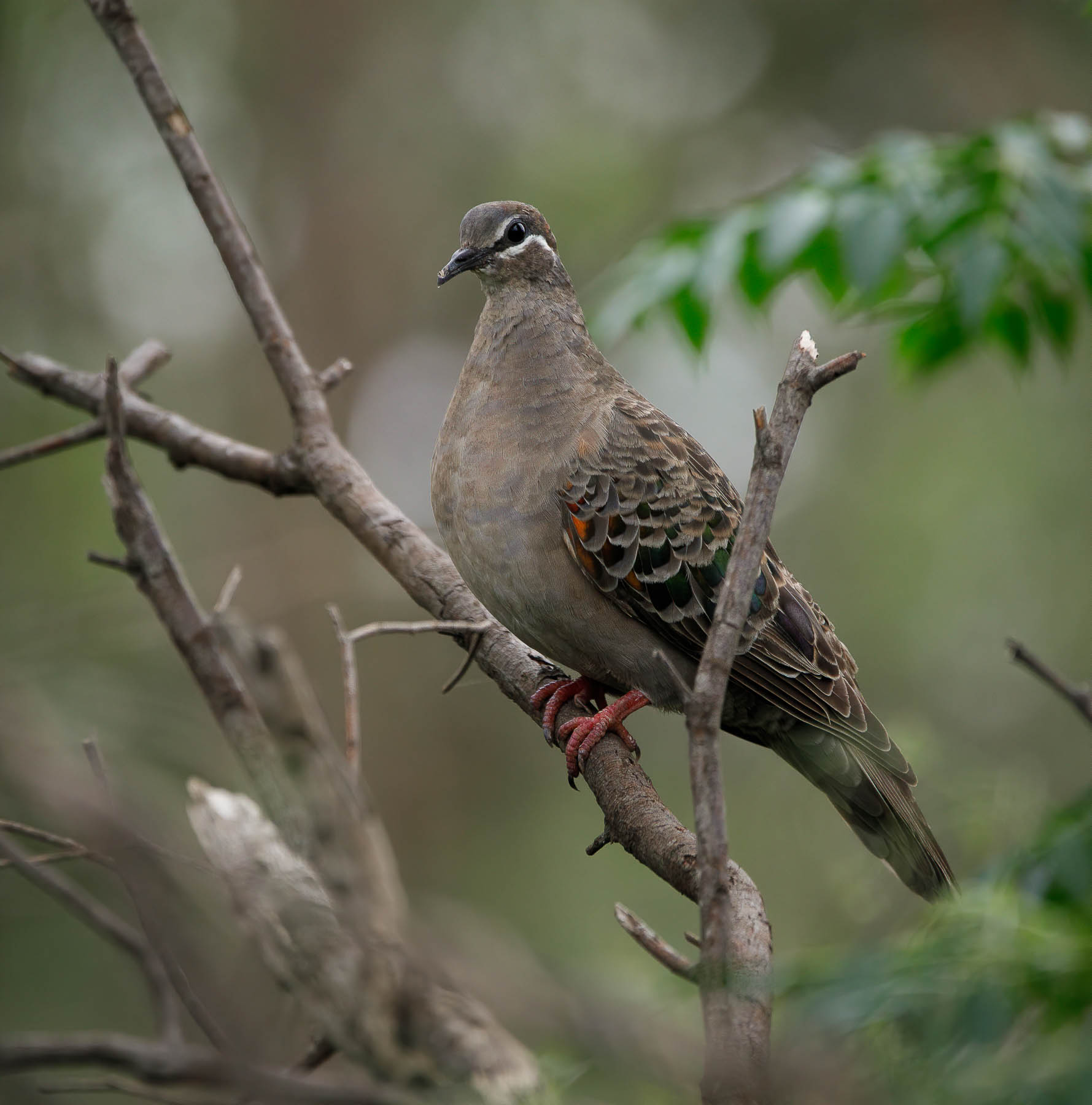 Common Bronzewing (Image ID 44116)