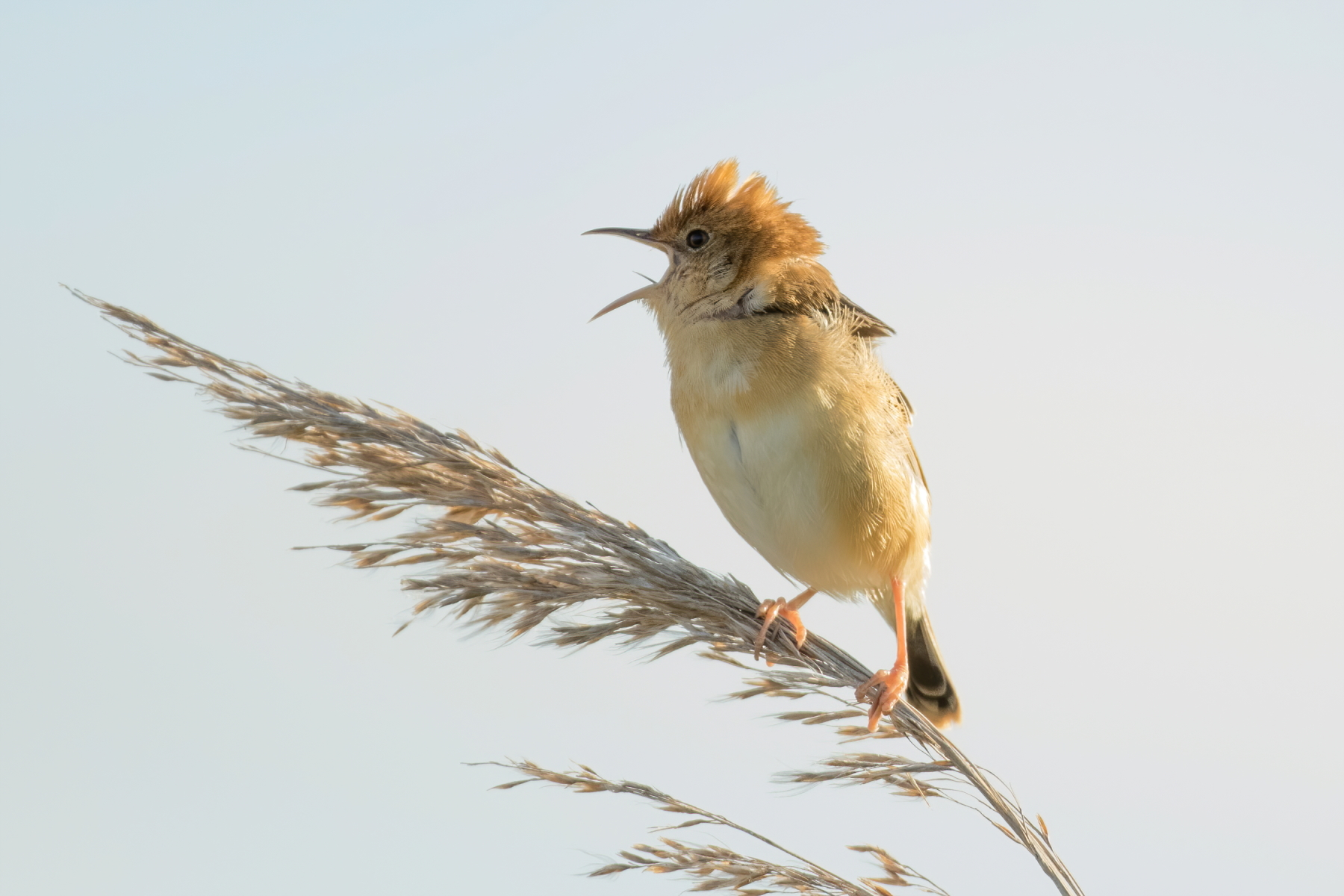 Golden-headed Cisticola (Image ID 44096)