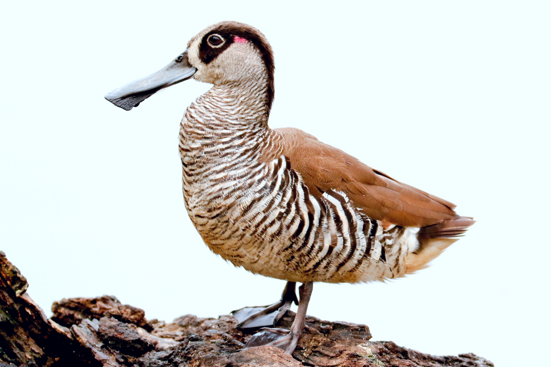 Pink-eared Duck (Image ID 44201)