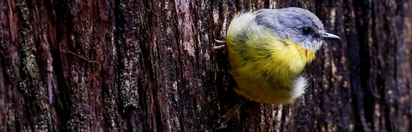 Eastern Yellow Robin (Image ID 44469)
