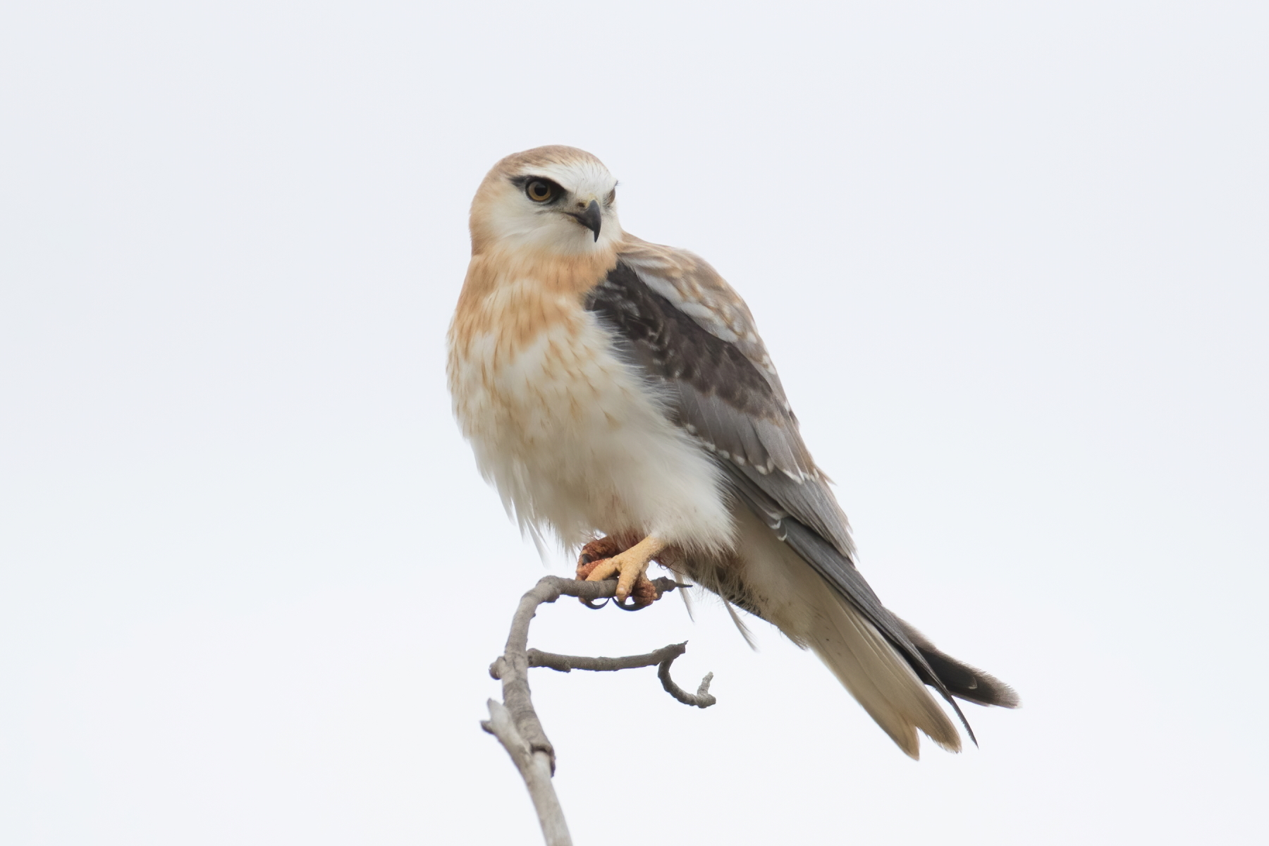 Black-shouldered Kite (Image ID 44274)