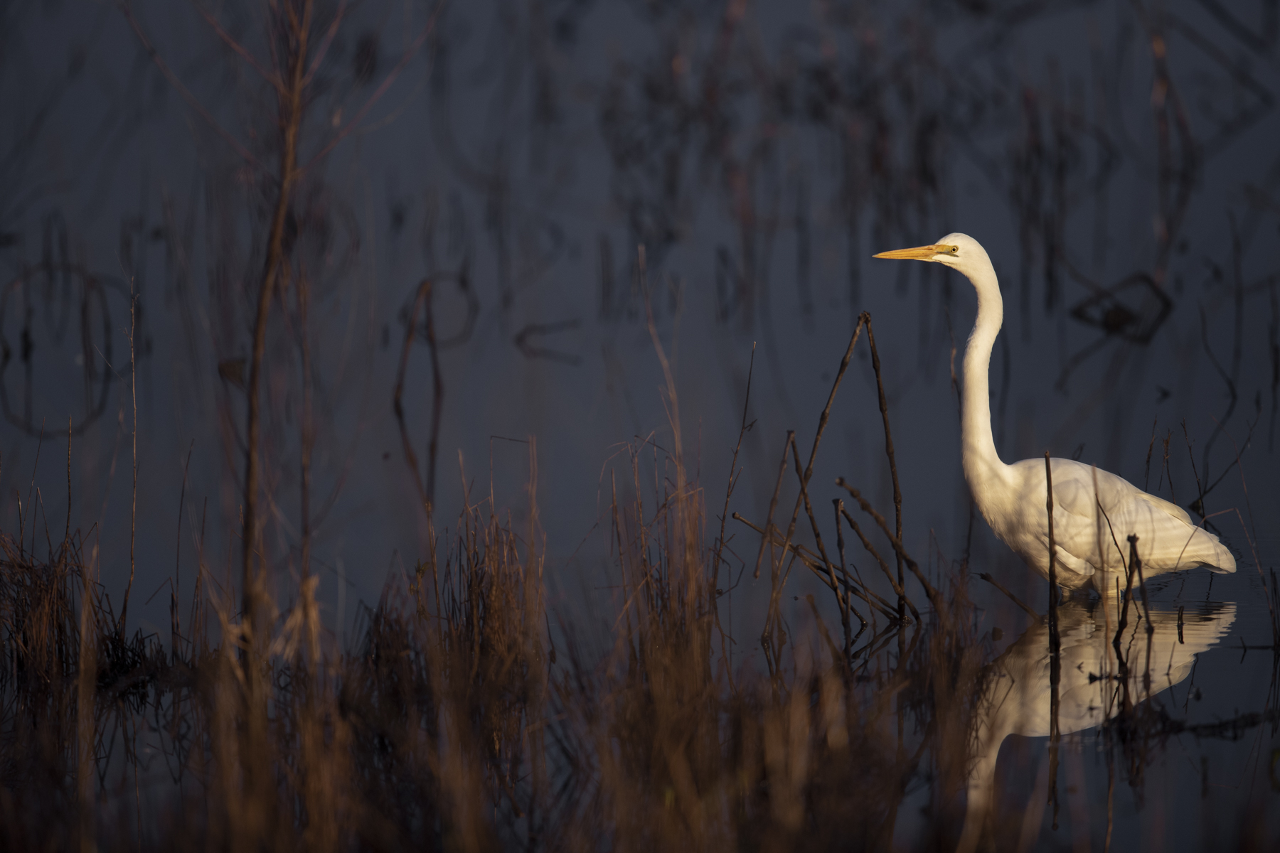 Great Egret (Image ID 44224)