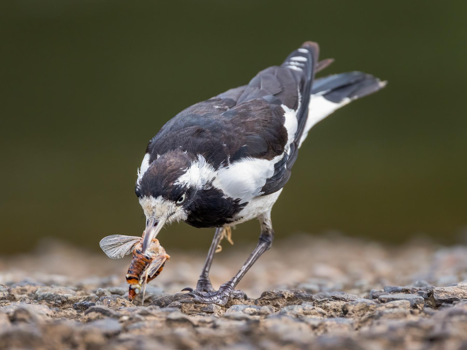 Magpie-lark (Image ID 44521)
