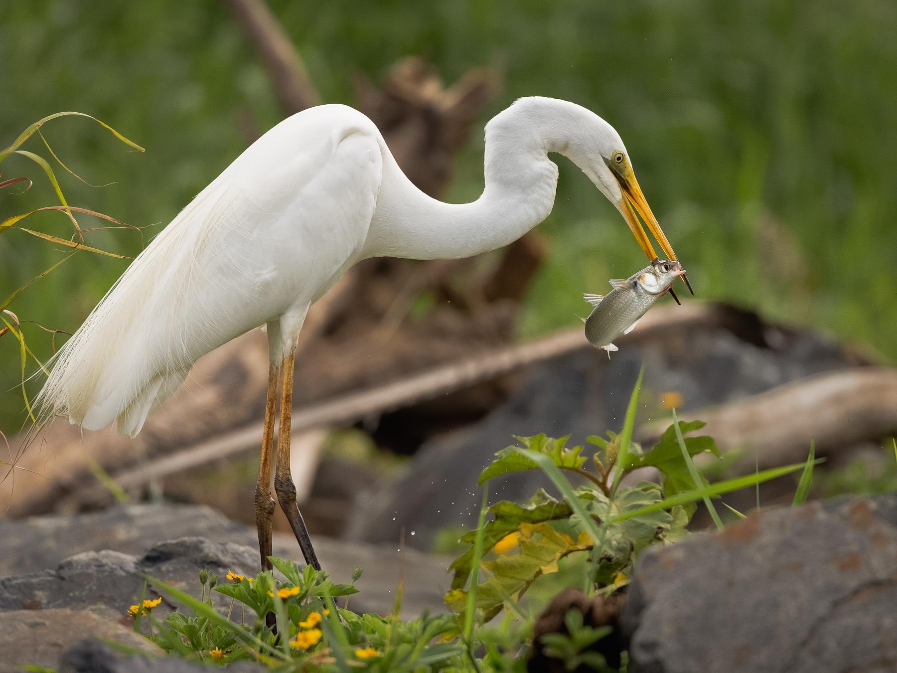 Great Egret (Image ID 44266)