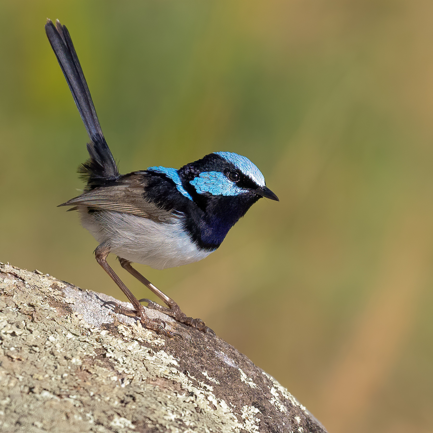 Superb Fairy-wren (Image ID 44323)