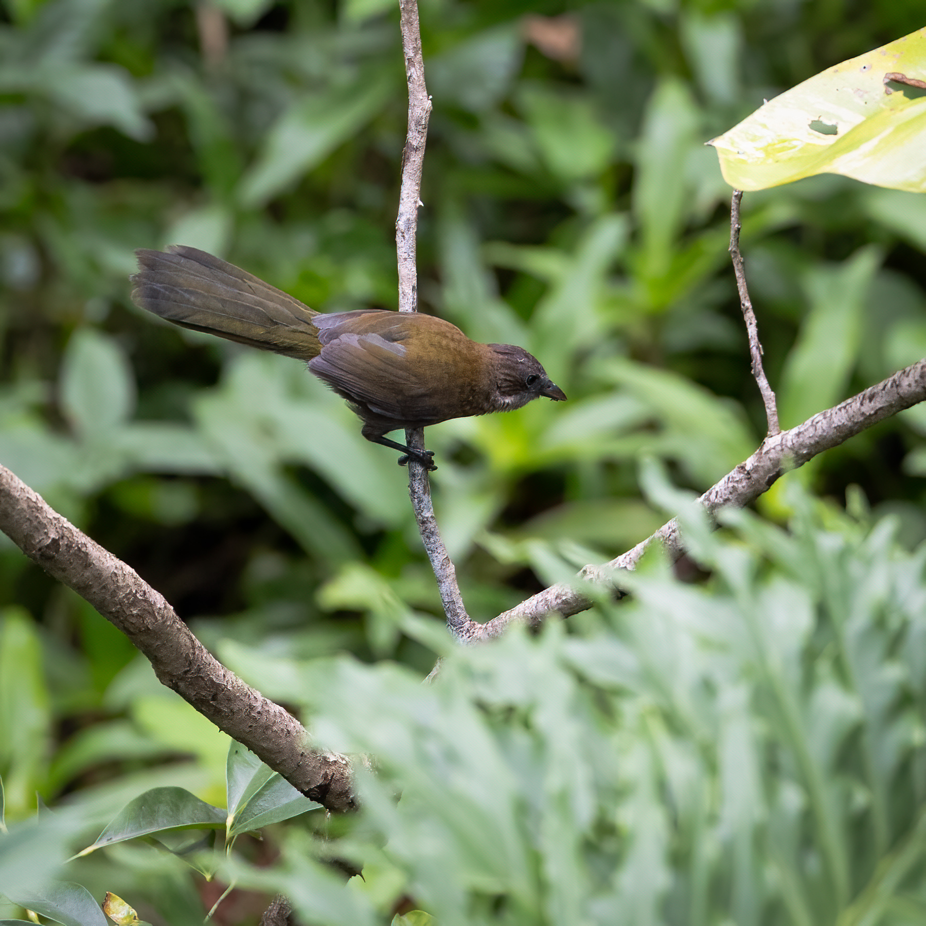 Eastern Whipbird (Image ID 44277)