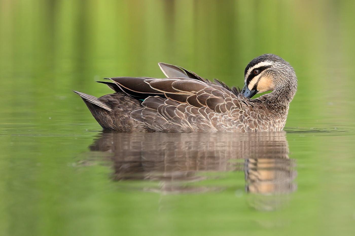 Pacific Black Duck (Image ID 44751)