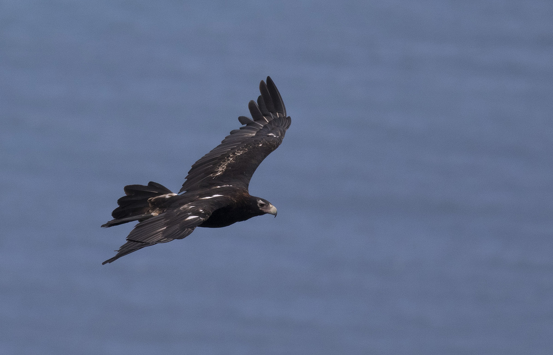 Wedge-tailed Eagle (Image ID 44873)
