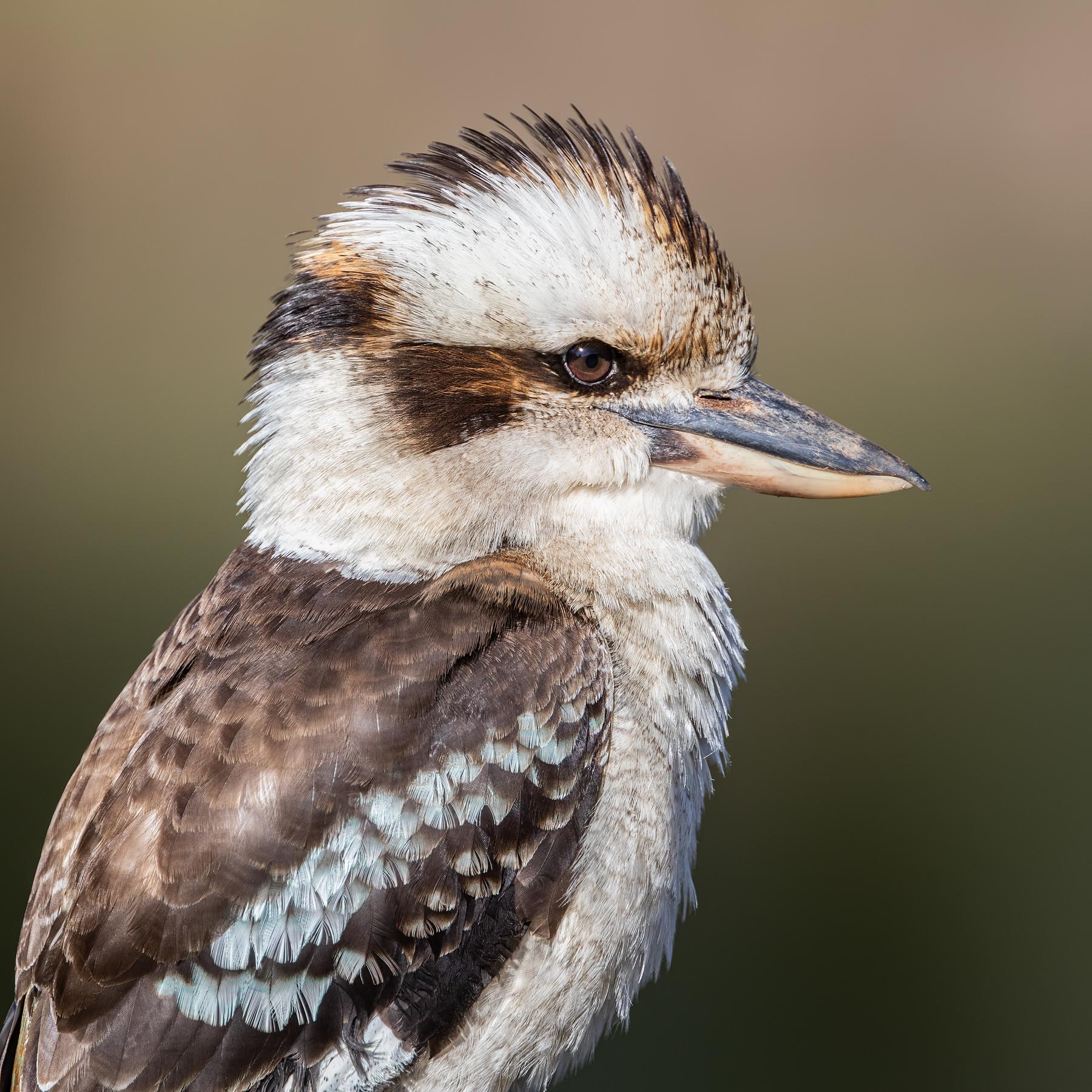 Laughing Kookaburra (Image ID 44885)