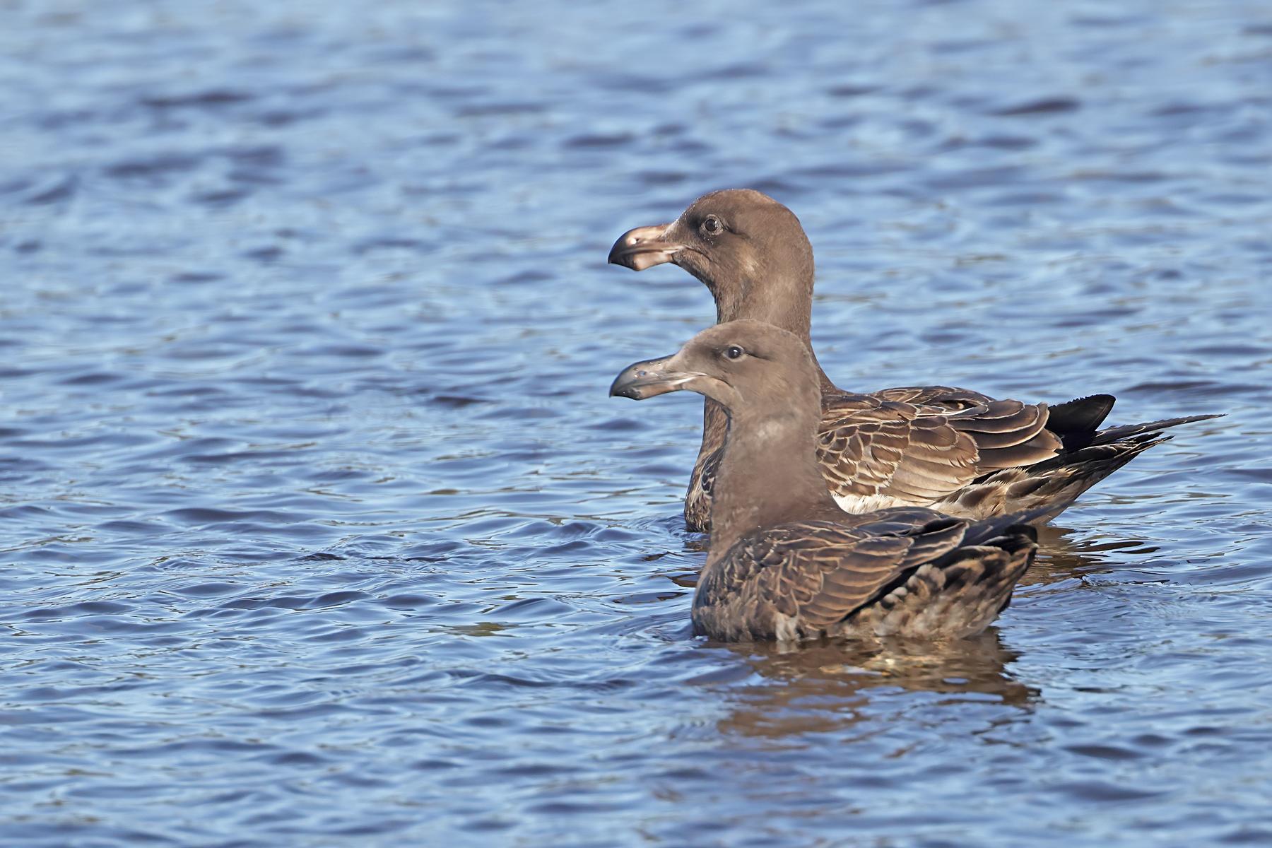 Pacific Gull (Image ID 44962)