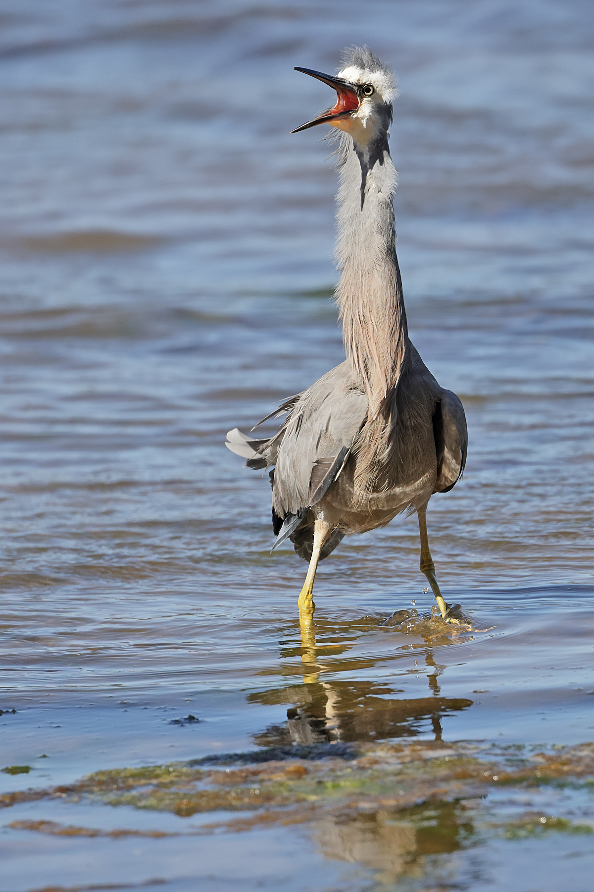 White-faced Heron (Image ID 44779)