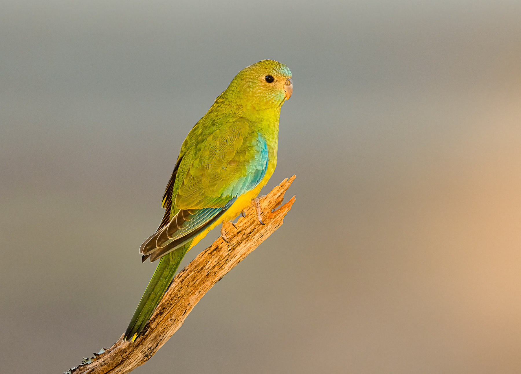 Turquoise Parrot (Image ID 44747)