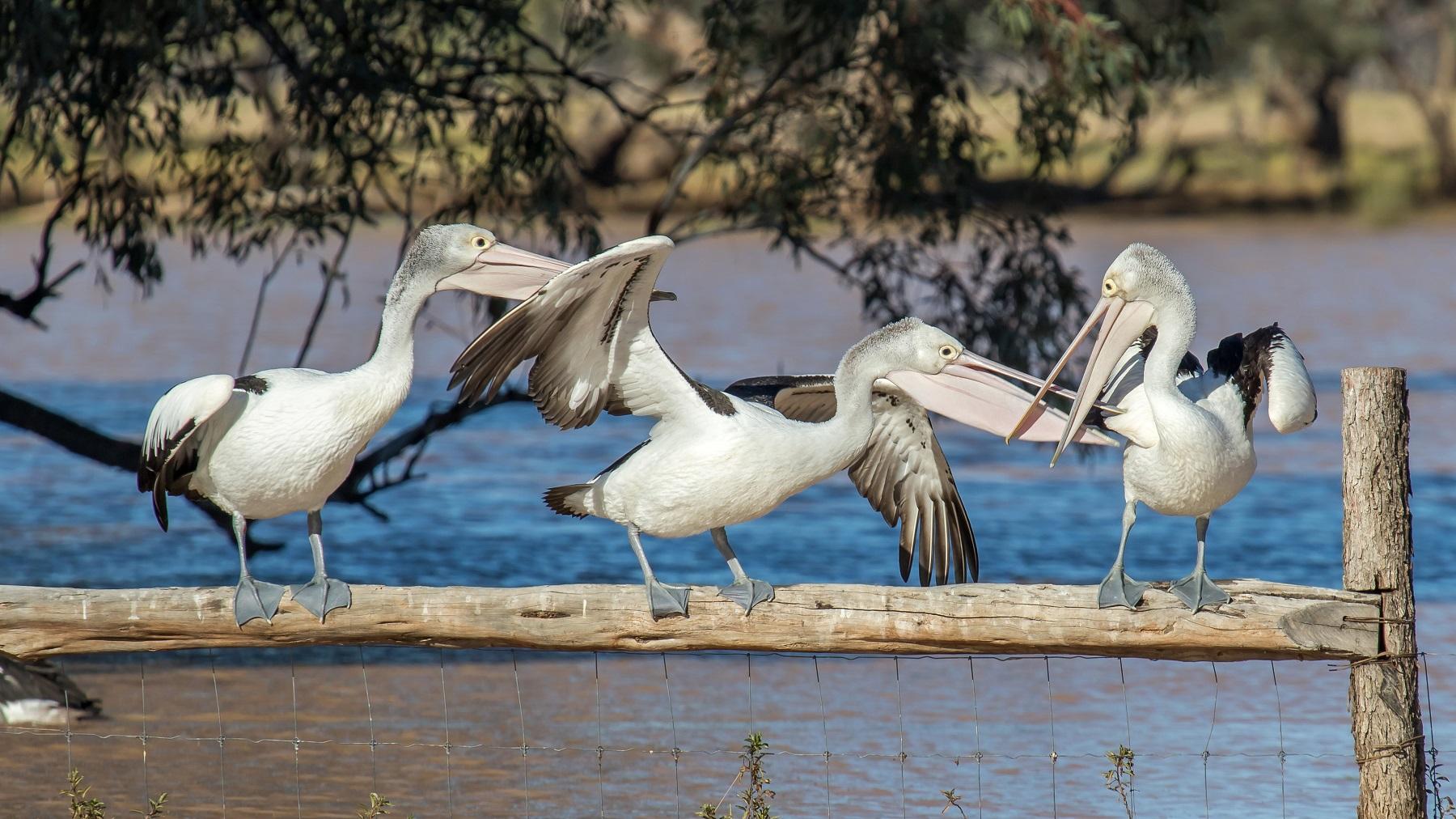 Australian Pelican (Image ID 44547)