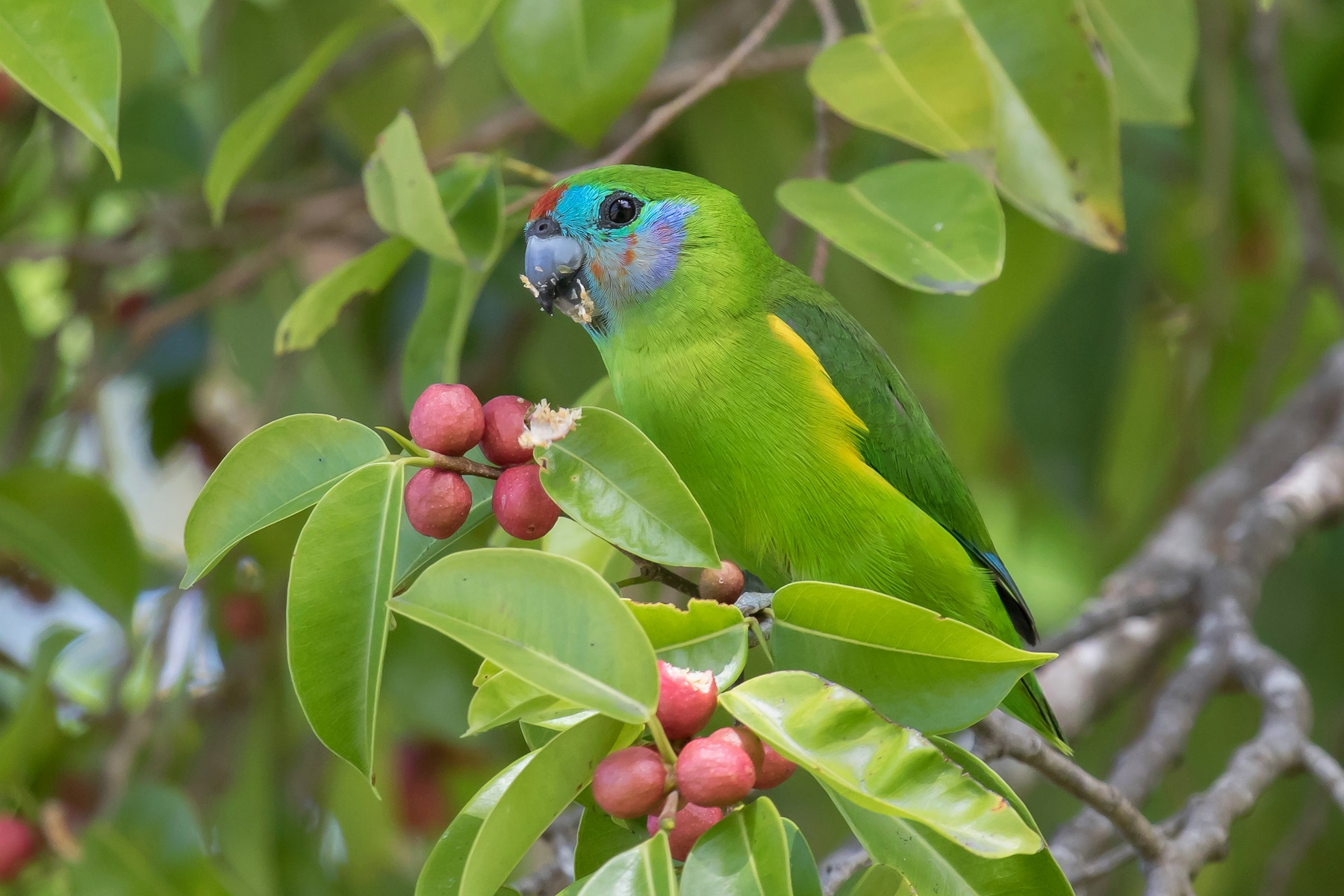 Double-eyed Fig-Parrot (Image ID 44548)
