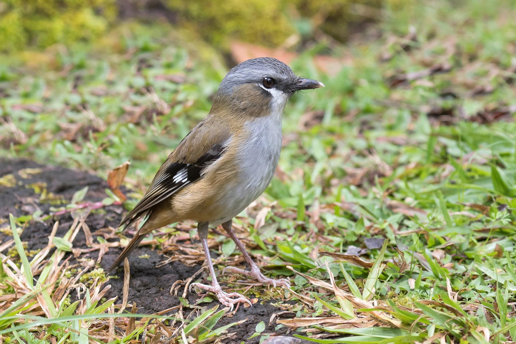 Grey-headed Robin (Image ID 44549)