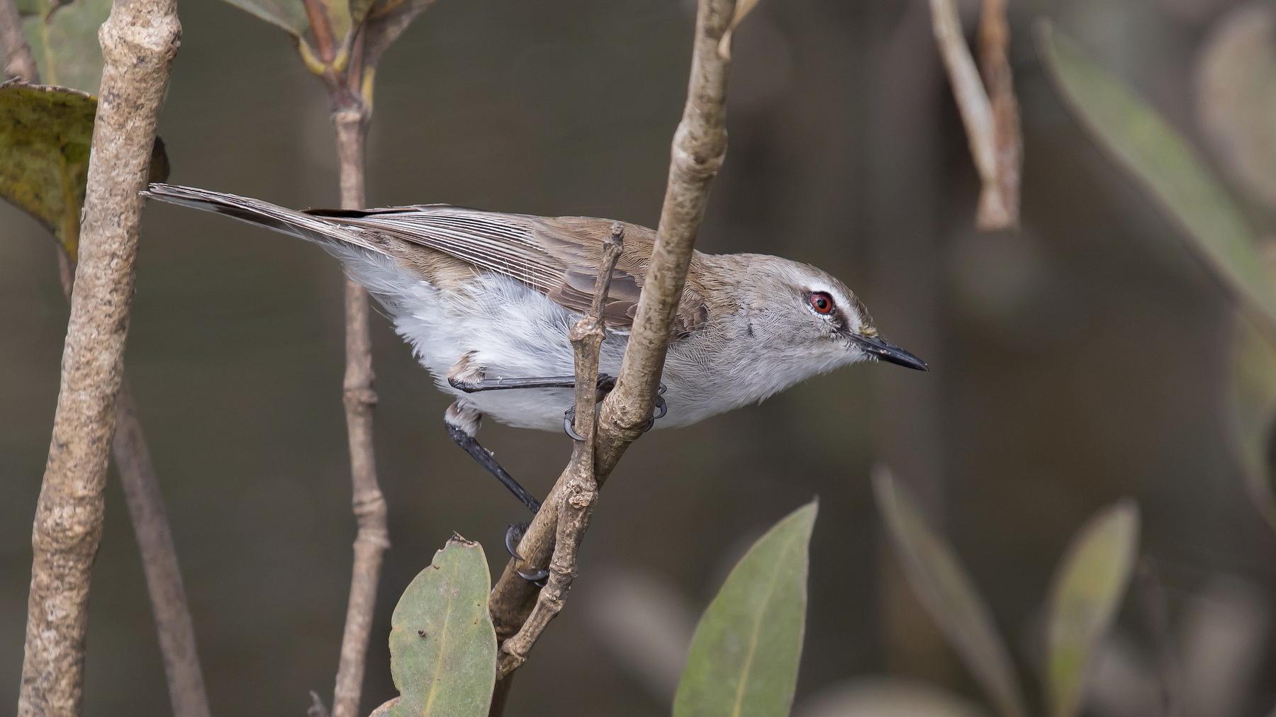 Mangrove Gerygone (Image ID 44911)