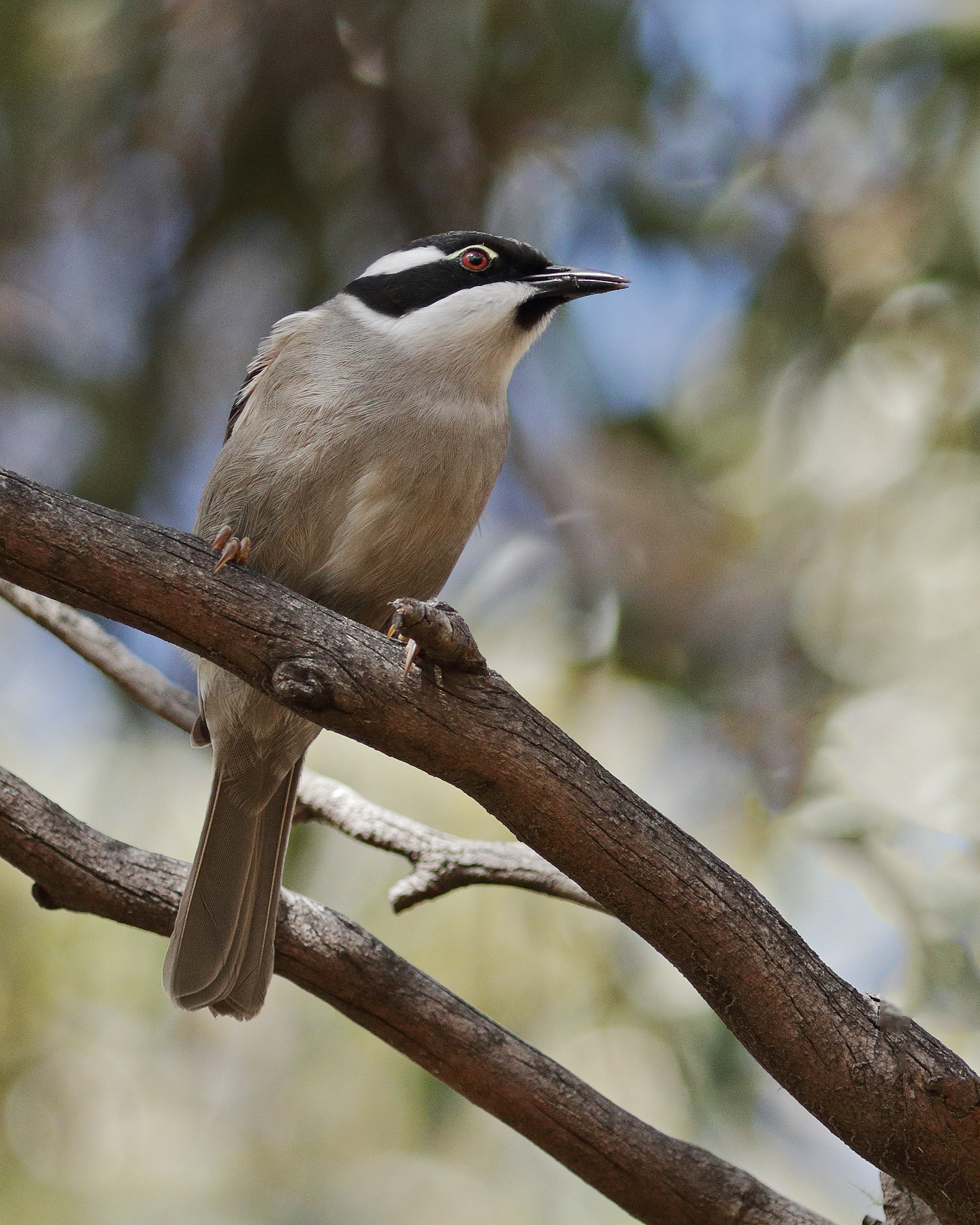 Strong-billed Honeyeater (Image ID 44620)