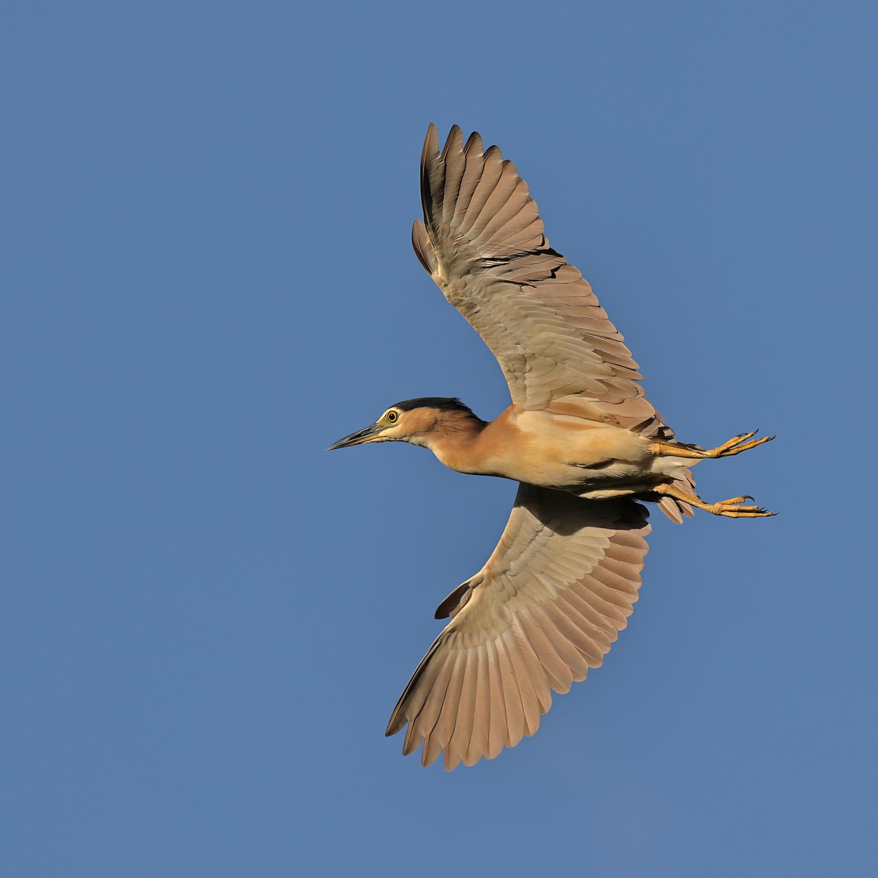 Nankeen Night-Heron (Image ID 44661)