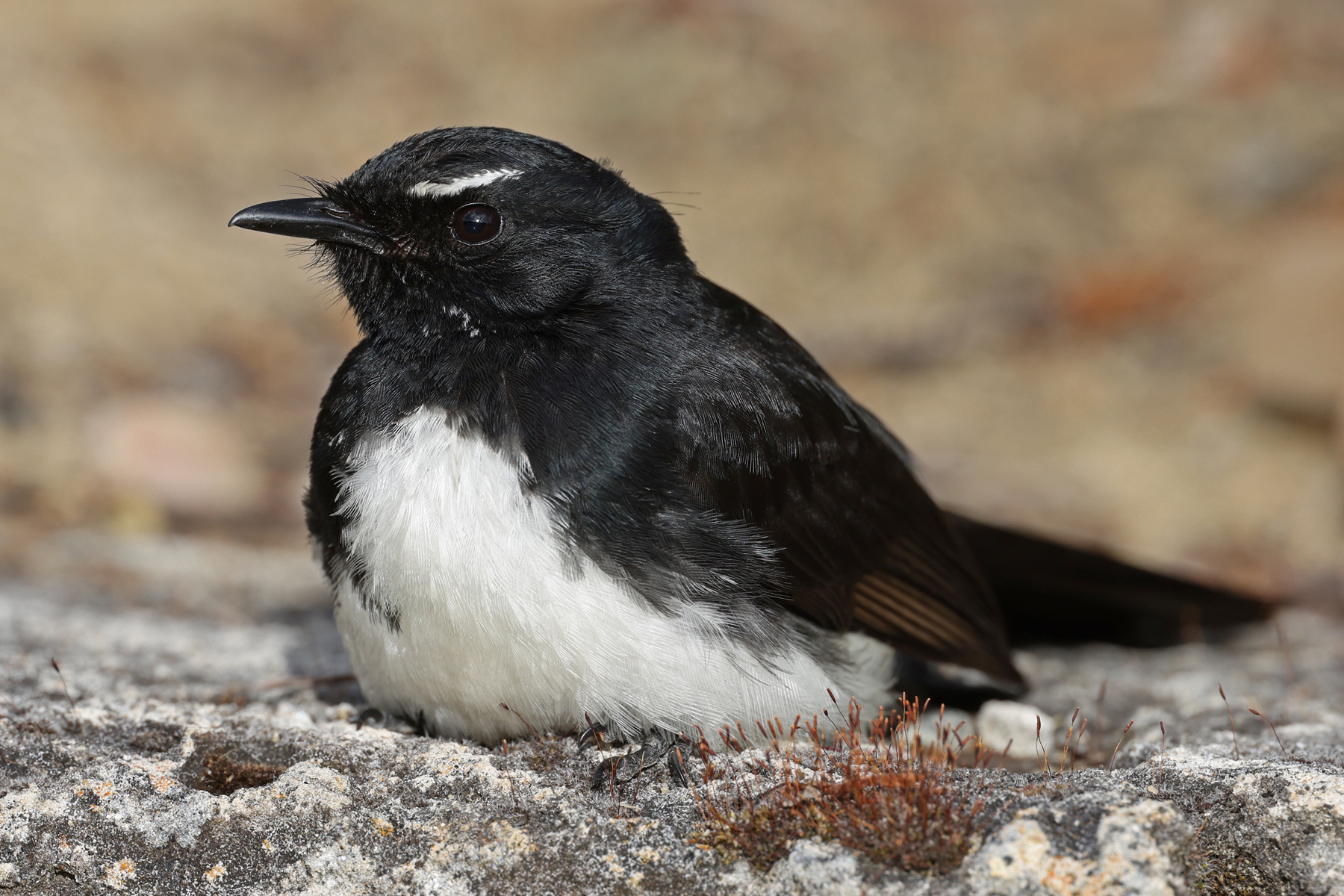Willie Wagtail (Image ID 44664)