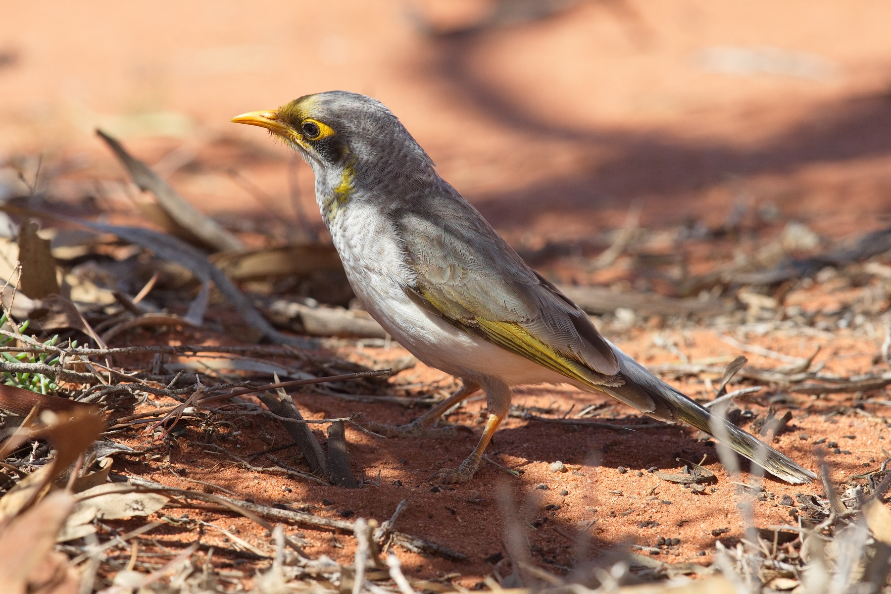 Yellow-throated Miner (Image ID 44758)