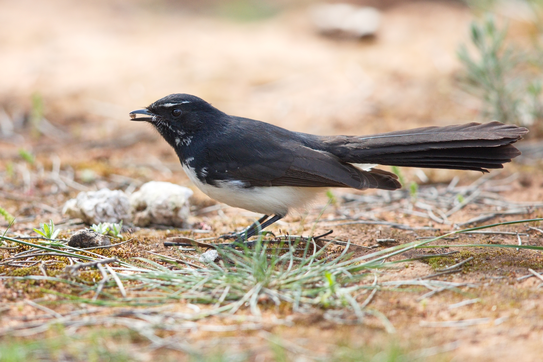 Willie Wagtail (Image ID 44757)